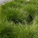 Picture of Lomandra Echidna