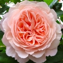 Picture of A Shropshire Lad-Rose
