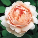 Picture of Ambridge Rose-Rose