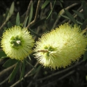 Picture of Callistemon pallidus