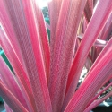 Picture of Cordyline Magenta Rays