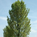 Picture of Ulmus Lobel