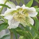 Picture of Helleborus White Tutu