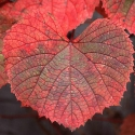 Picture of Grape Amurensis