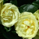 Picture of Lemon n Lime-Rose