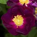 Picture of La Belle Sultane-Rose