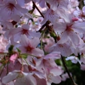 Picture of Prunus Awanui H/W 1.8