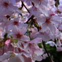 Picture of Prunus Awanui H/W 1.7