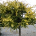 Picture of Podocarpus Totara Aurea STD
