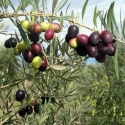 Picture of Olea Picual