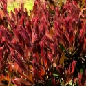 Picture of Callistemon Red Alert