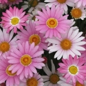 Picture of Daisy Angelic Baby Pink