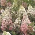 Picture of Hydrangea Paniculata Candlelight