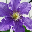 Picture of Clematis Will Goodwin