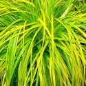 Picture of Carex Everillo