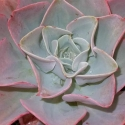 Picture of Echeveria Capri