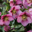 Picture of Helleborus Madame Lemonnier