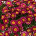Picture of Daisy Angelic Burgundy