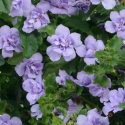 Picture of Bacopa Double Lavender