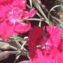 Picture of Dianthus Angel of Inspiration
