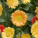 Picture of Gerbera Sweet Smile