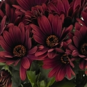 Picture of Osteospermum Rioja Red