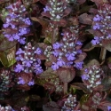 Picture of Ajuga Atropurpurea