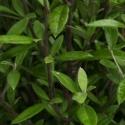 Picture of Corokia Geentys Green Cones
