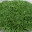 Picture of Scleranthus Crewcut