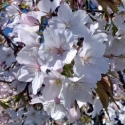 Picture of Prunus Yedoensis Perpendens H/W 1.8