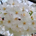 Picture of Prunus Yedoensis H/W 1.8m