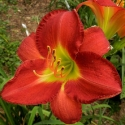 Picture of Hemerocallis King Lamoni