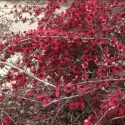 Picture of Leptospermum Red Falls