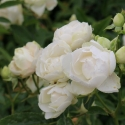 Picture of Paree White Std 80cm-Rose