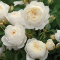 Picture of Claire Austin Std 80cm-Rose