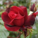 Picture of Black Knight Std 80cm-Rose