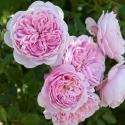 Picture of Cupcake Std 90cm-Rose