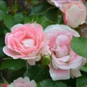 Picture of Eye Candy Std 80cm-Rose