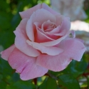 Picture of Shangri La Std 90cm-Rose