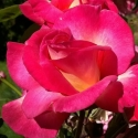 Picture of Tahlia Std 80cm-Rose