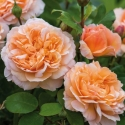 Picture of The Lady Gardener-Rose