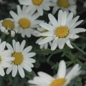 Picture of Daisy Angelic White Chic