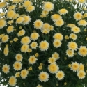 Picture of Daisy Angelic Pompom Yellow