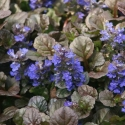 Picture of Ajuga Blue Chip