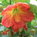 Picture of Abutilon Orange Dwarf