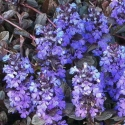 Picture of Ajuga Mahogony