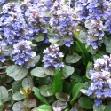 Picture of Ajuga Metallica Crispa