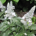 Picture of Salvia Sallyfun Snow White