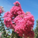 Picture of Lagerstroemia Tuscarora