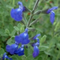 Picture of Salvia Amore